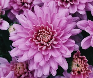 blossom, floral, and chrysanthemum image