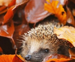 autumn, leaves, and hedgehog image