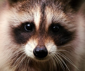 animal, raccoon, and nature image