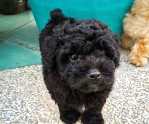 dog, puppy, and toy poodle image