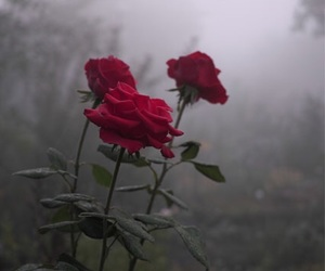 beautiful, fog, and red roses image