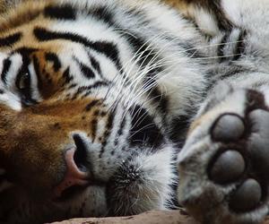 big cat, Nuremberg, and paw image