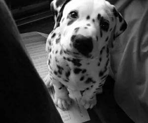 dog, paws, and dalmation image