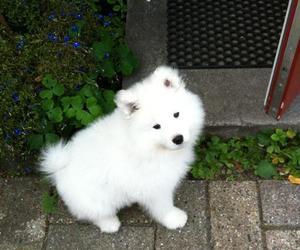 dog, puppie, and Samoyed image