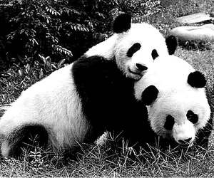 black and white, cute, and pandas image