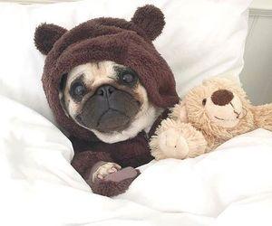 animals, bear, and pug image