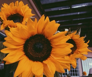 photography, pretty, and sunflowers image