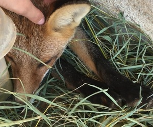 animal, red fox, and cute image