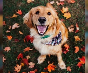 golden retriever, wallpaper, and canine autumn image