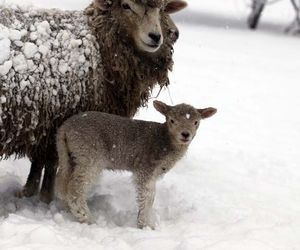 animals, country living, and lamb image