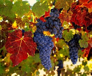 amazing, fall, and grapes image