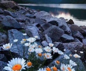 nature, flowers, and daisy image