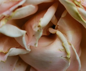 flowers, pink, and macro image