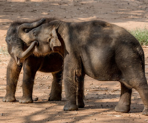 elephants, playful, and young image