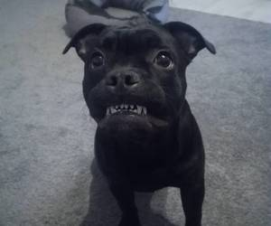 black, dog, and funny face image