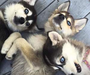 animals, blue eyes, and dogs image