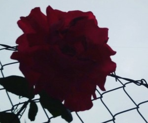 be, photo, and rose image