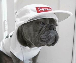 dog, grey, and supreme image