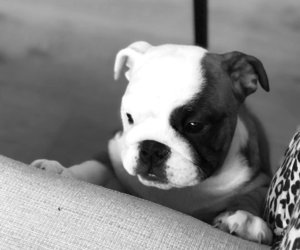 bulldog, pet, and puppy image