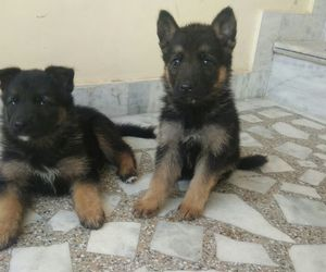 german shepherd, puppies, and pet shop image