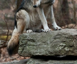 animal, wolf, and nature image