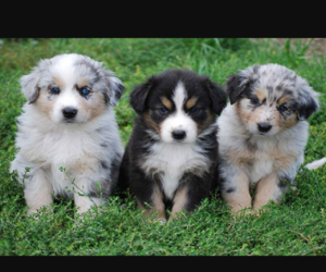 adorable, animals, and aussie image