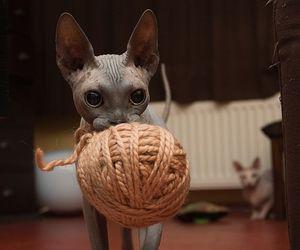 cat, kitten, and sphynx image