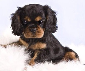 cavalier, cavalier king charles spaniel, and dog image