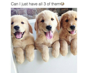 puppy, adorable, and golden retriever image