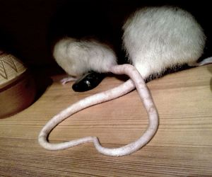 heart, rats, and love image