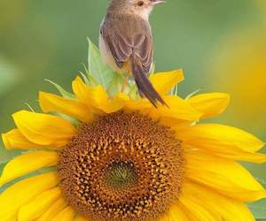 girassol, sunflower, and sonnenblume image