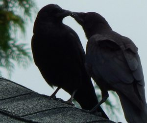 raven and black image