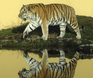 2006, big cat, and captive image