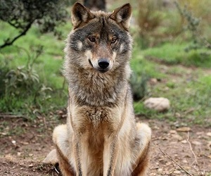 animals, forest, and wolf image