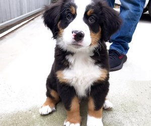 animals, bernese, and dogs image