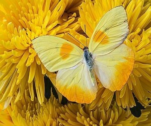 butterfly, yellow, and flowers image