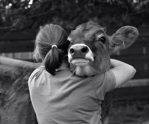 animals, cute, and cow image