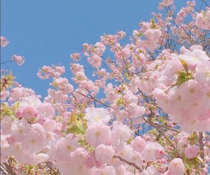 aesthetic, cherry blossoms, and environment image