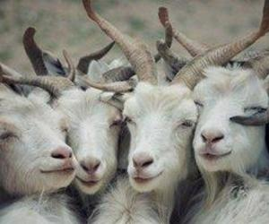Goats are awesome