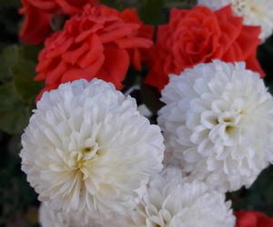 chrysanthemum, fall, and nature image