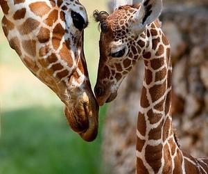 Animales, ternura, and jirafas image