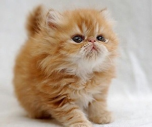 animal, red cat, and cute image