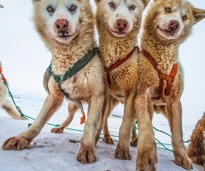 adorable, animals, and greenland image
