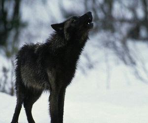 black, endangered, and Howl image