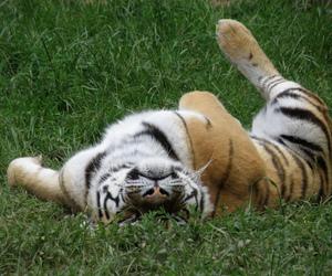 animals, birds, and tigre image