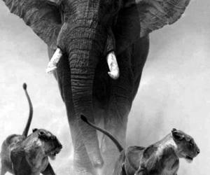 elephant, lion, and animal image