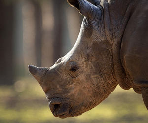 animals, wildlife, and rhino image