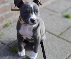pitbull, cute, and pitbull lover image