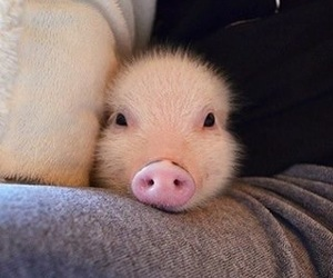 Animais, animal, and pigs image