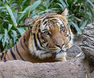 tigre, tijger, and tiger image